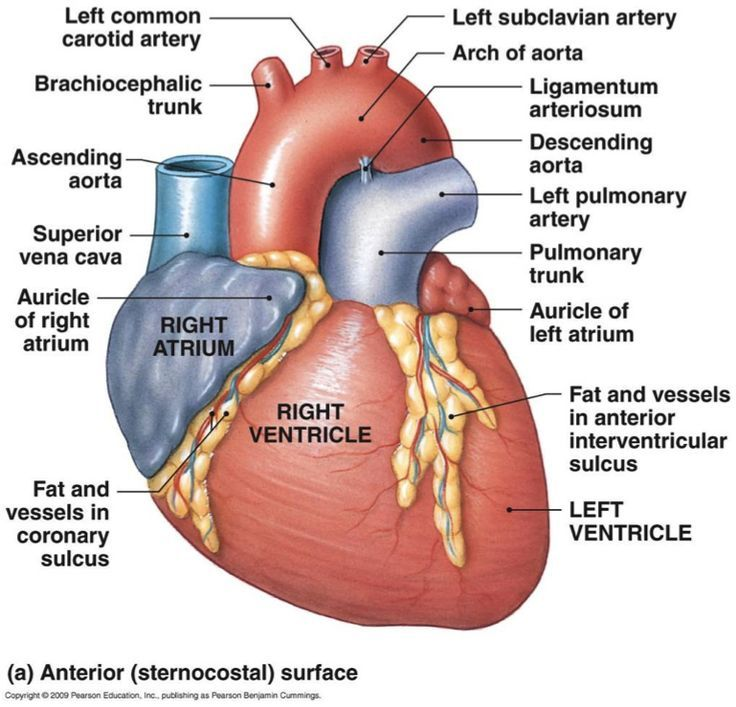 Front cardiovascular blood anatomy pinterest for Exterior of heart diagram
