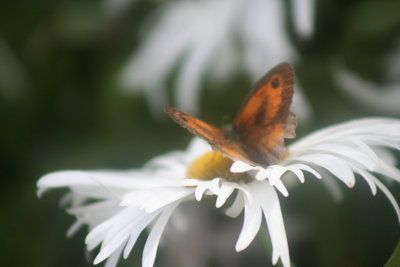 Butterfly on a Daisy by Betweenthetwilight