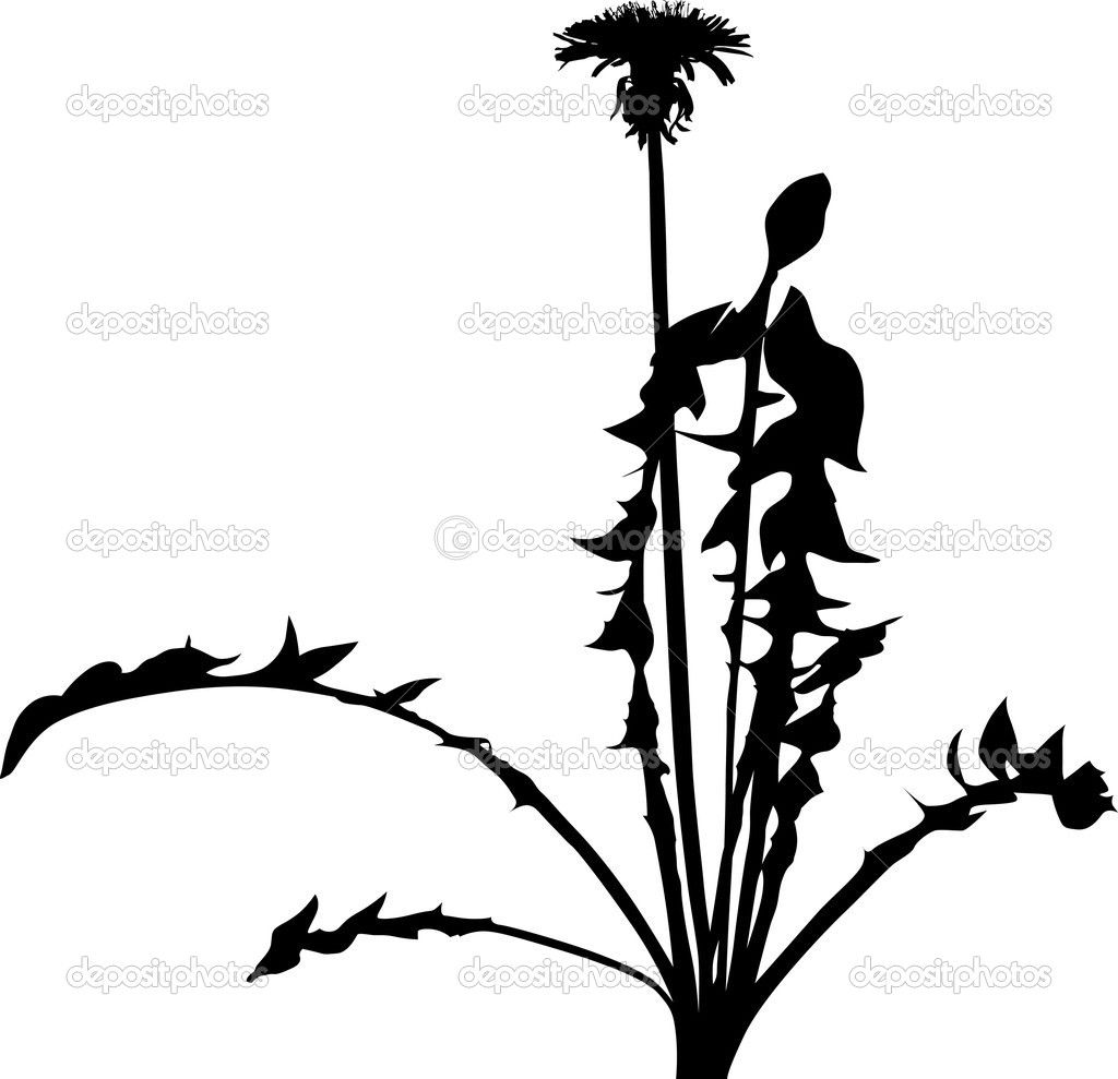 worksheet Life Cycle Of A Dandelion Worksheet dandelion flower silhouette isolated on white stock vector dr dr