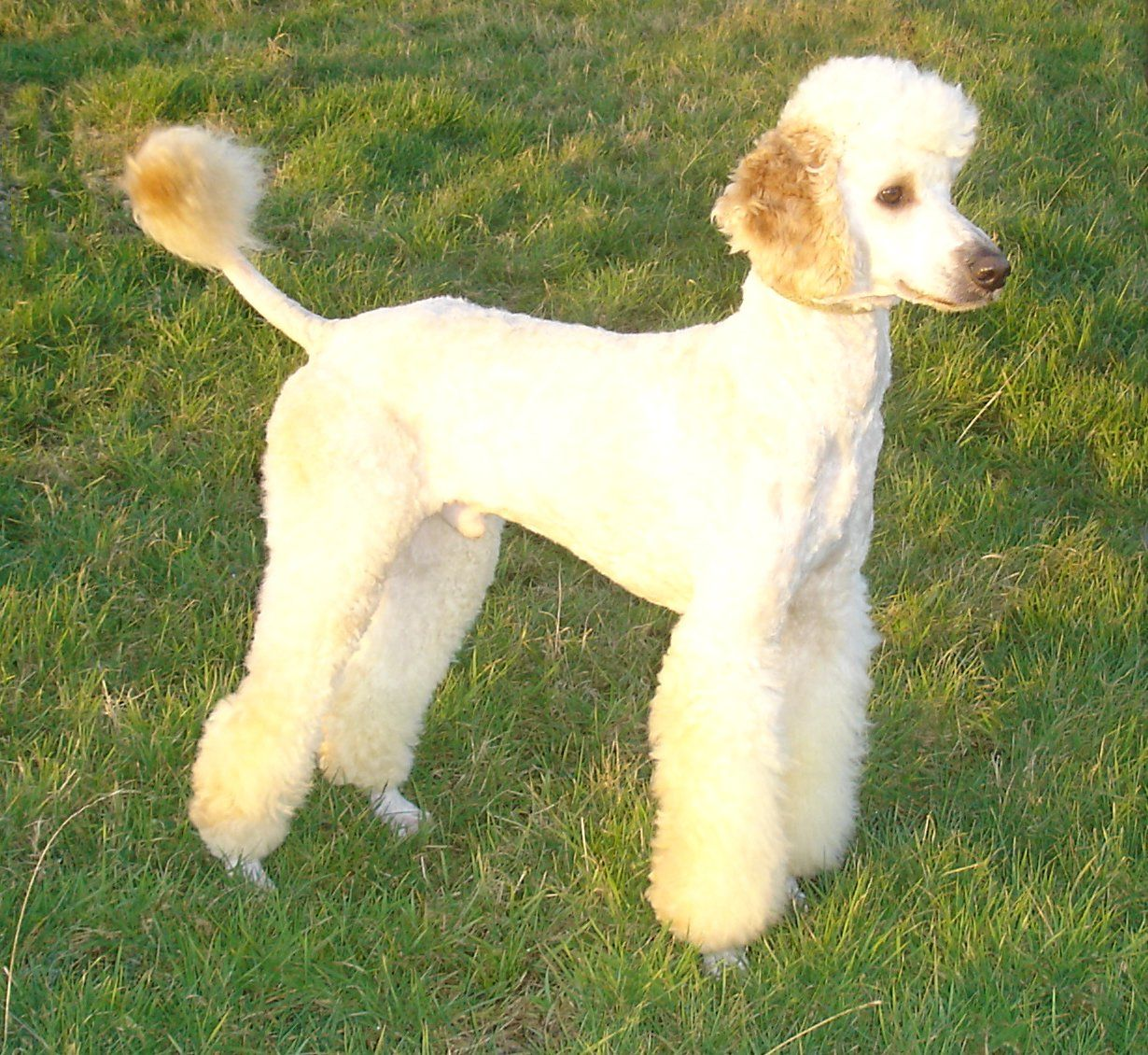 Cracker Poodle Stud Dog | Dream Dogs Stud Dogs Directory