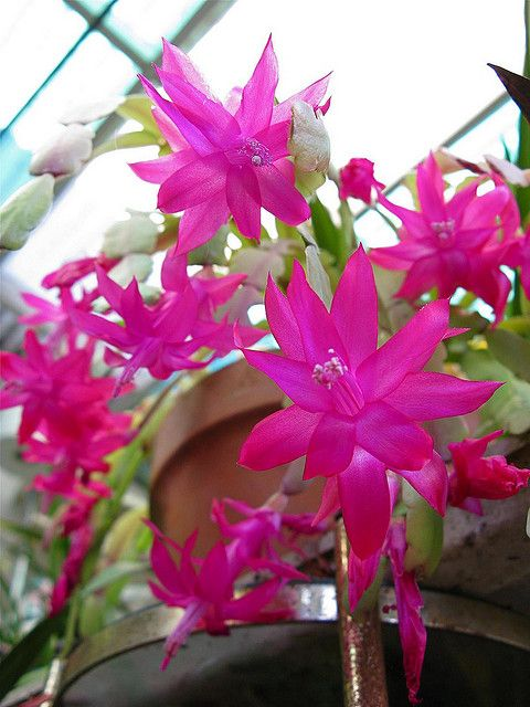 Christmas Cactus - Schlumbergera sp; Family Cactaceae