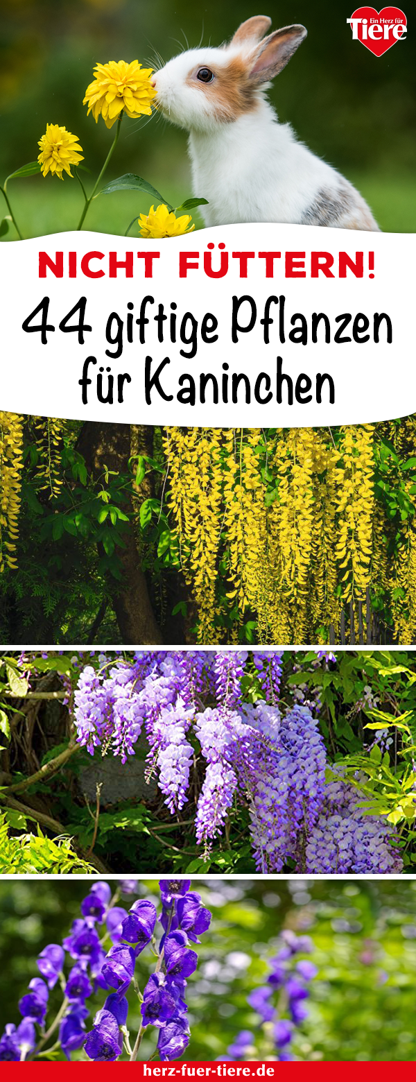 Futter für Kaninchen: Diese Pflanzen aus dem Garten sind giftig für Kaninchen!