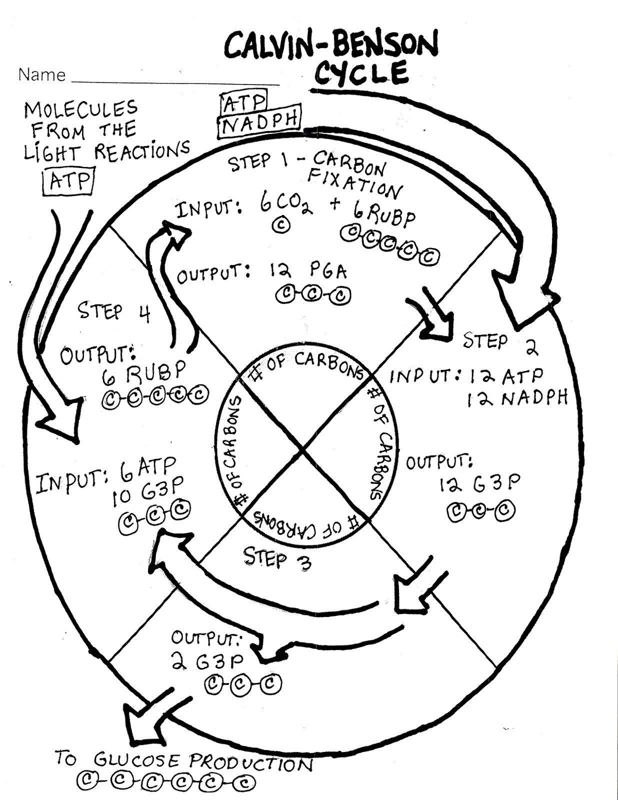 Carbon Cycle Diagram Worksheet Synthesis The Calvin Cycle