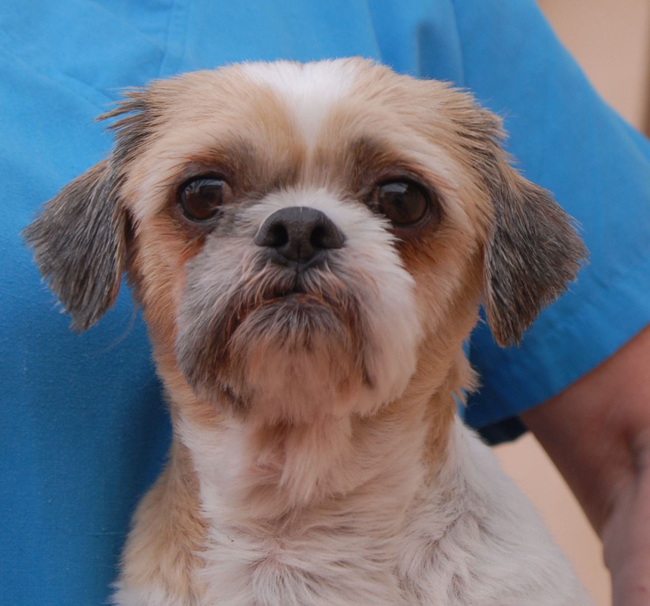 Remo is a thoughtful, tender-hearted Shih-Tzu debuting for adoption on Christmas Eve at Nevada SPCA (www.nevadaspca.org). He is about 5 years of age and neutered, and compatible with other friendly dogs. Remo was at another shelter with ear infections and needed our help. We suspect he had past infections left untreated, so Remo will need an owner who can carefully monitor the cleanliness and condition of his ears for the rest of his life.
