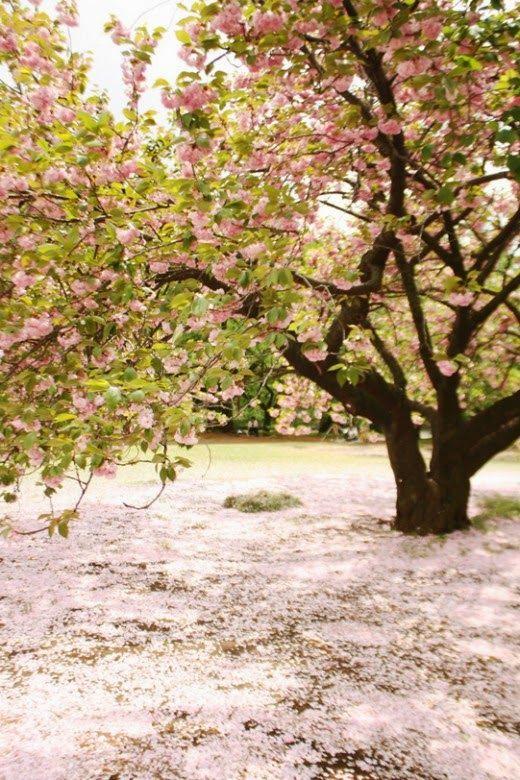 Beautiful Sakura Flower Cherry Blossom Cherry Blossom Wallpaper Sakura Flower Sakura Tree