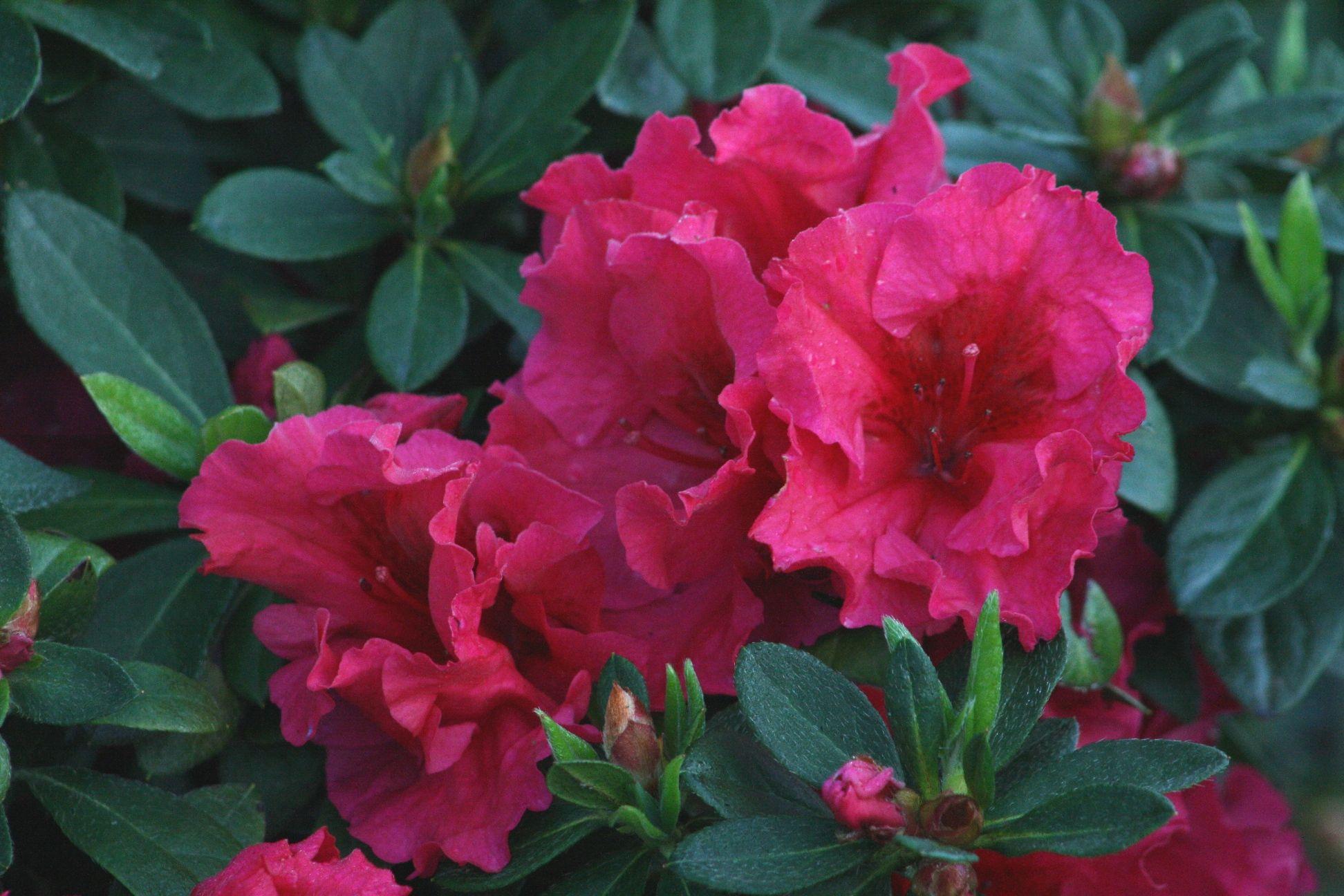 Red Ruffles Azalea Monrovia Red Ruffles Azalea