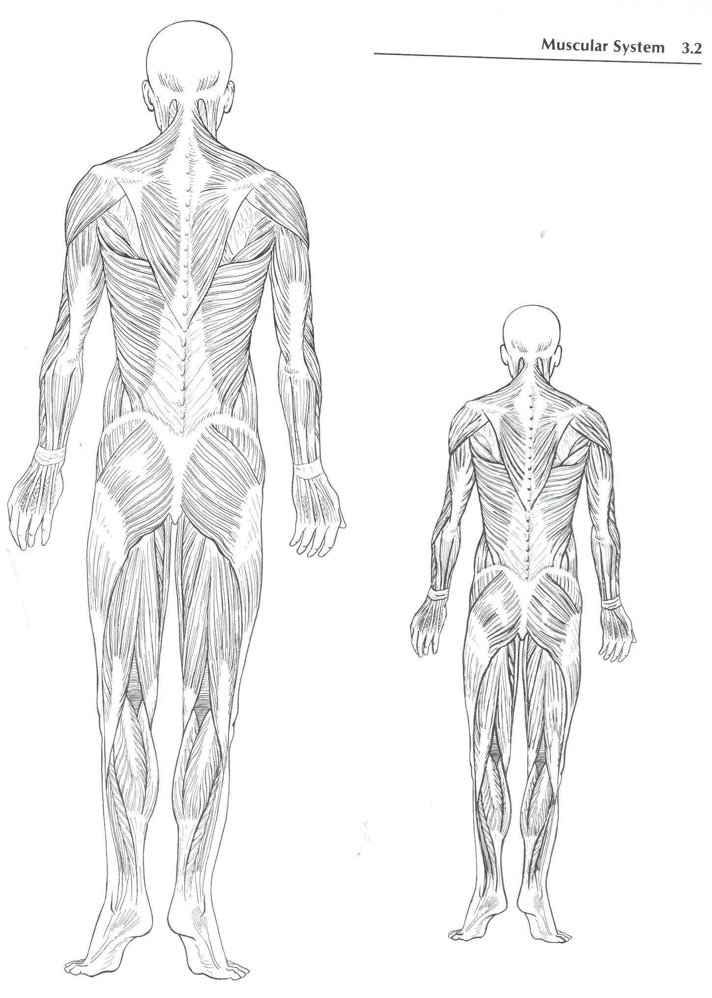 The Back Of The Muscular System From Earlier Medical