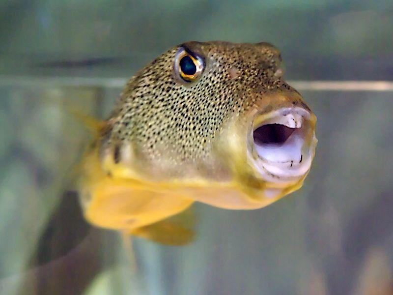 Guineafowl Pufferfish Custom Aquarium Puffer Fish Fish Pet