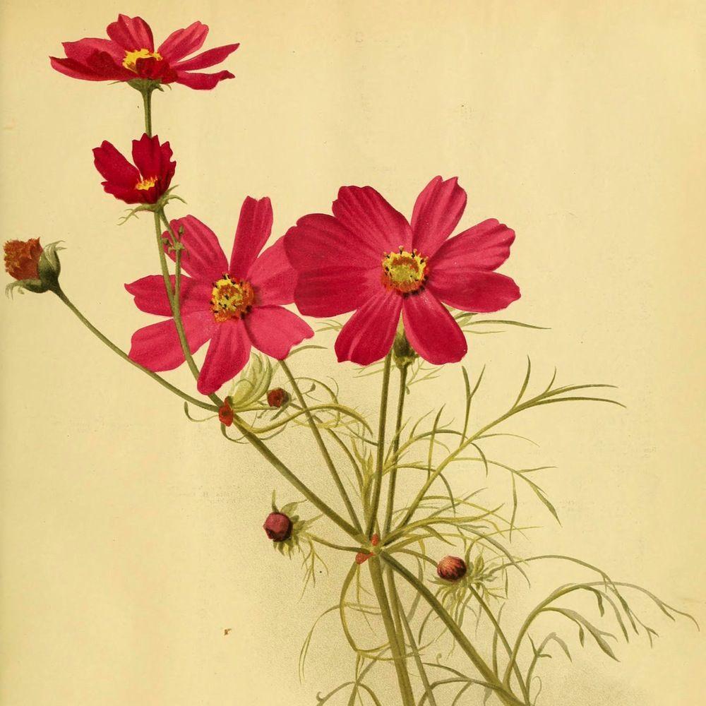 Cosmos Bipinnatus Circa 1891 Flower Illustration Floral Watercolor Flower Drawing