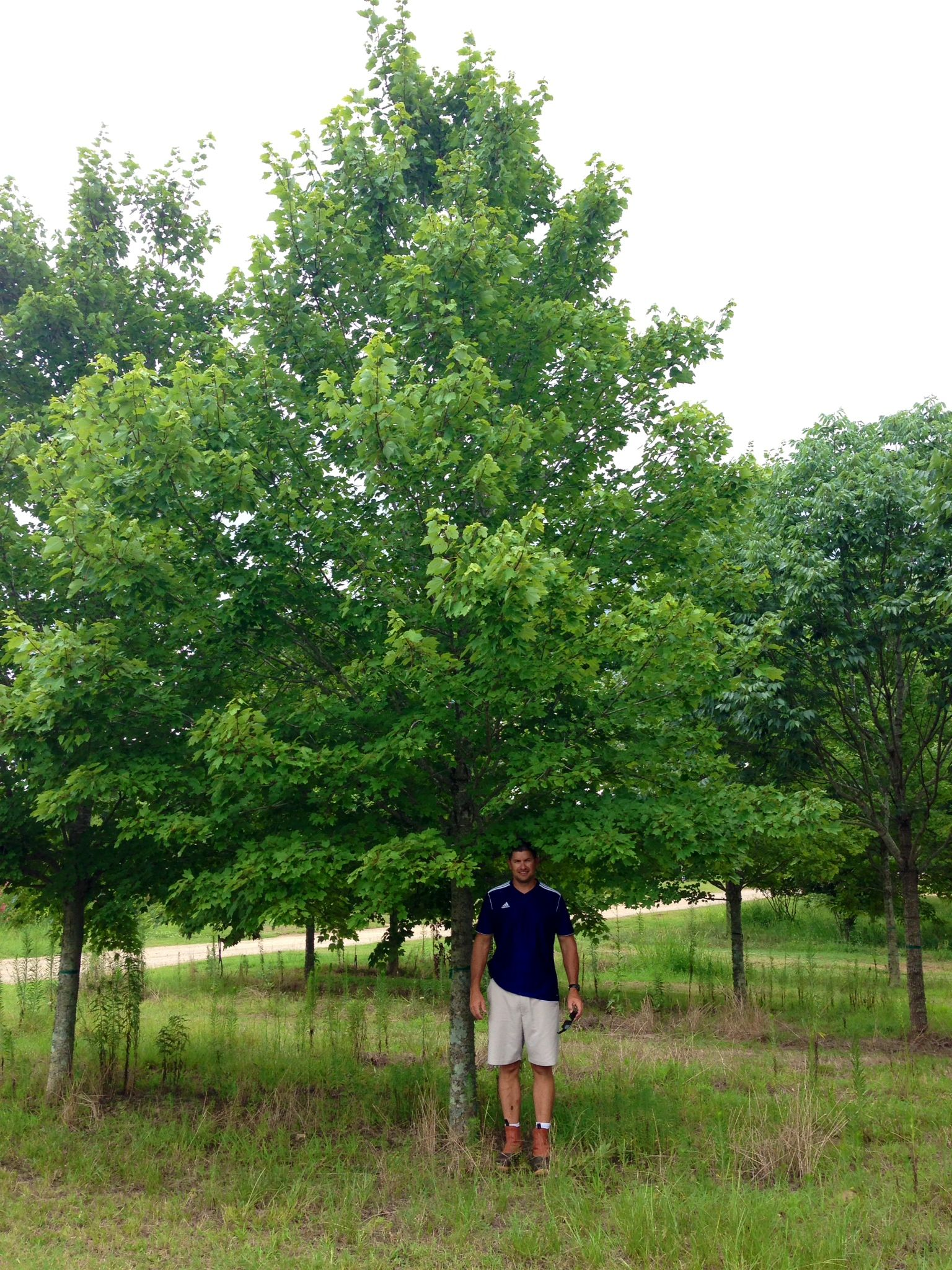 Now this is what you call a shade tree! Large, 6\