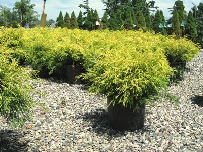 Gold Thread Cypress Yellow Green Evergreen Shrub Grows Up To 4