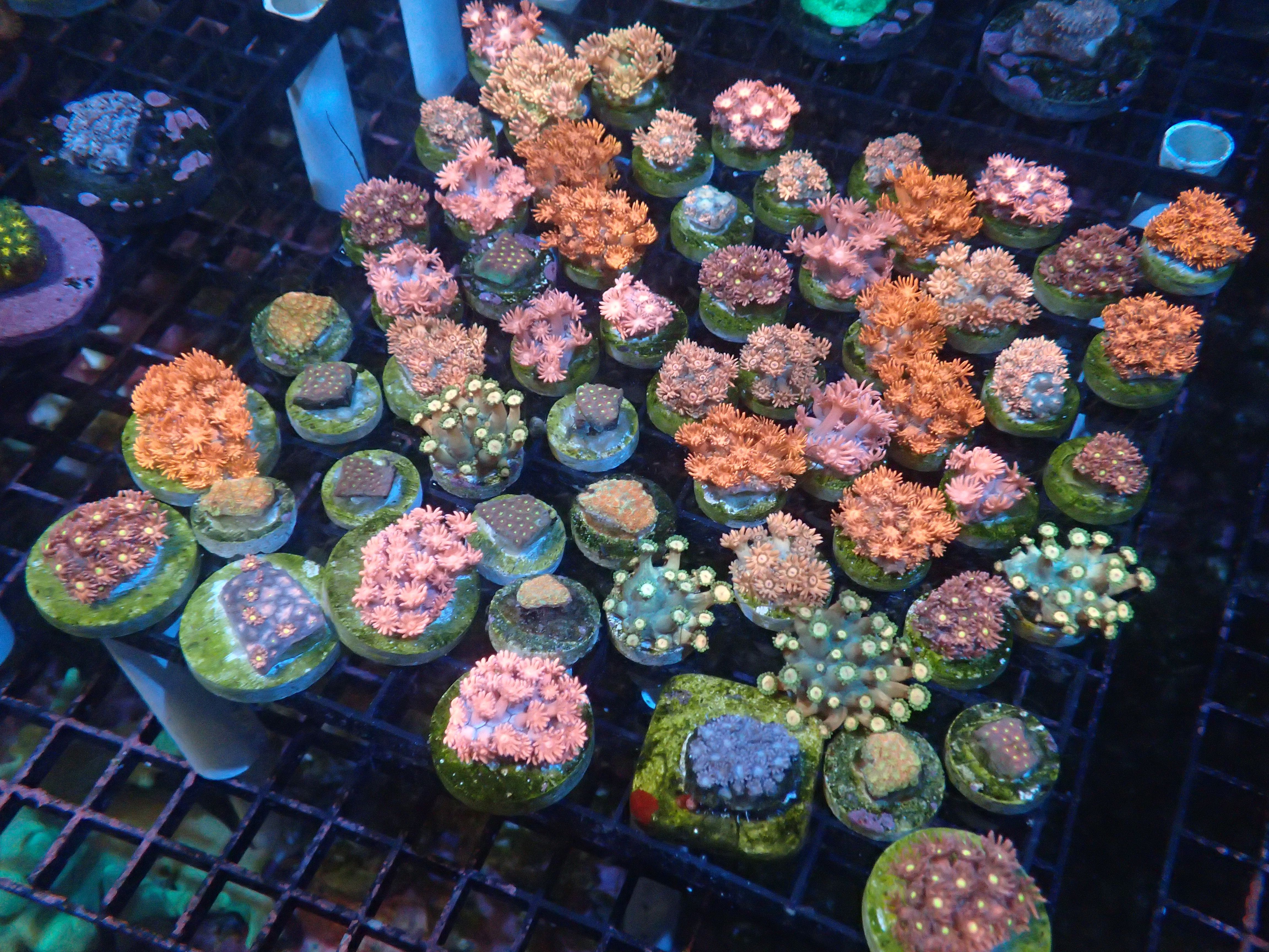 ultra goni frags available coralust com