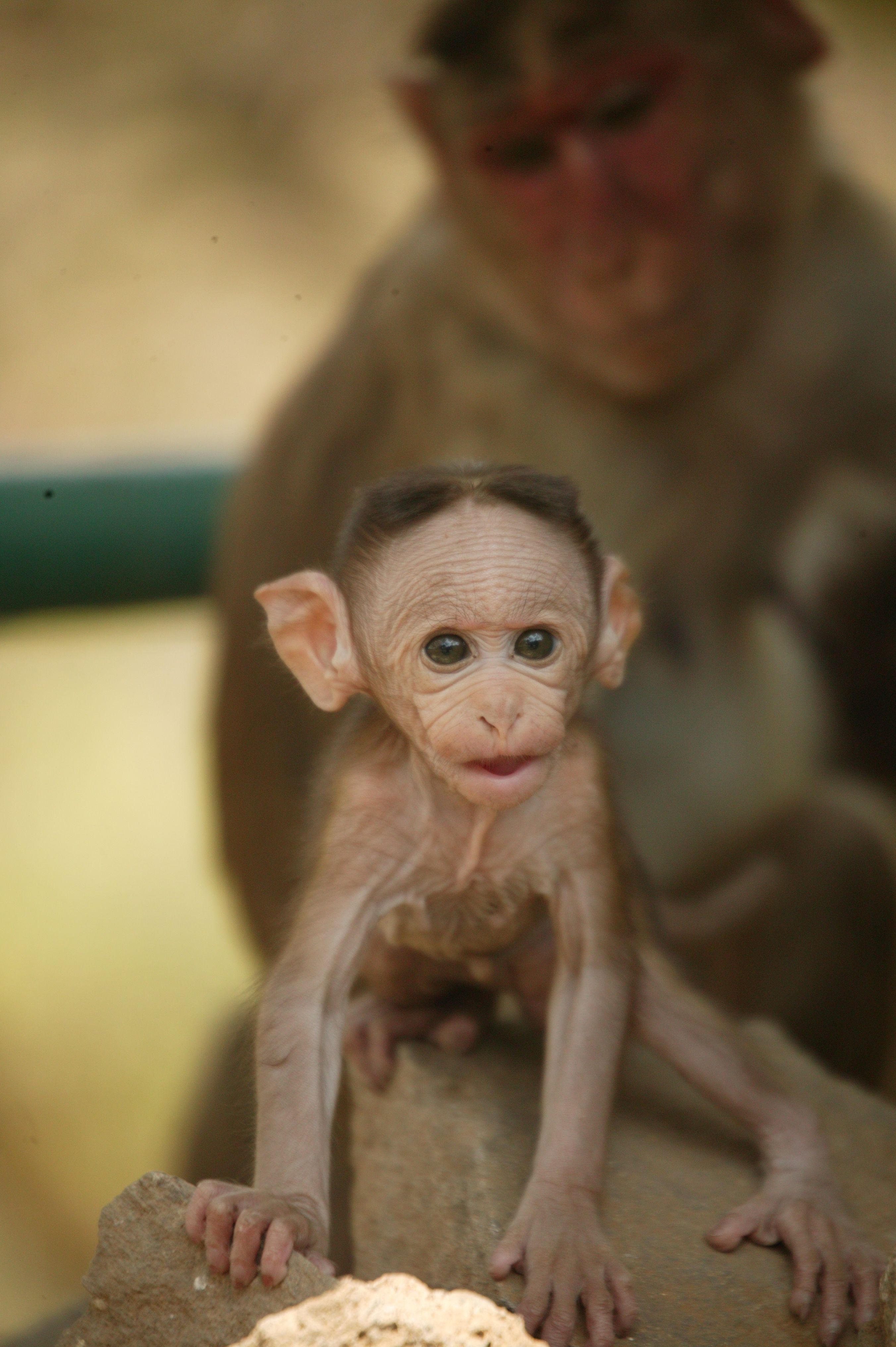 Monkeys in india be inspired think what you could do and - How do you make wild animal in little alchemy ...