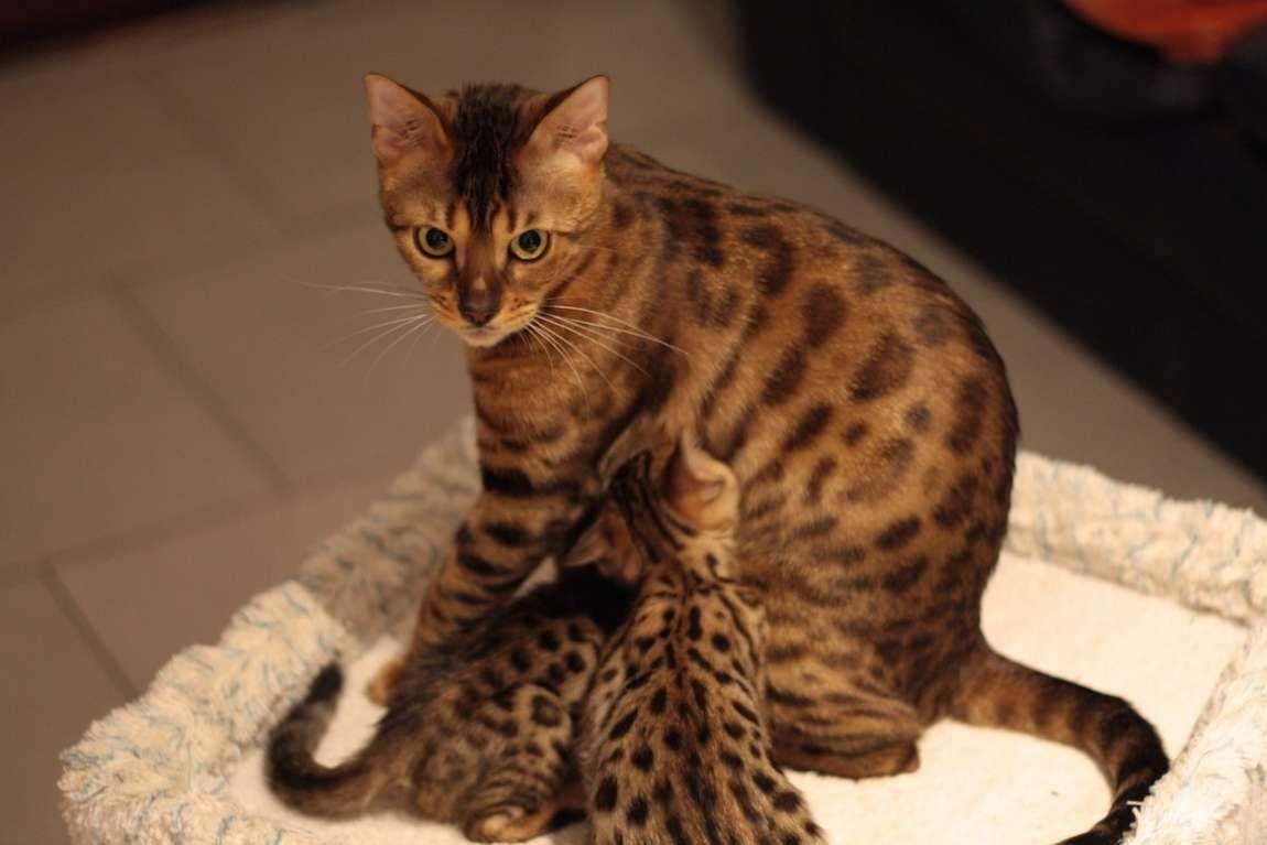 Foxone Bengalen Zucht Aus Koln Bengalen Bengal Katzchen Katzenzuchter