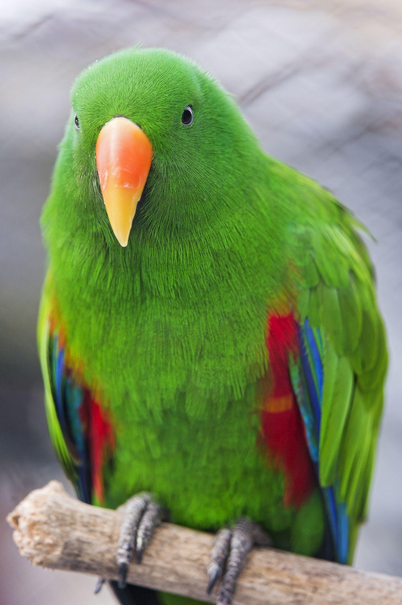 Perched Male Eclectus Parrot Parrot Bird Birds Pet Birds