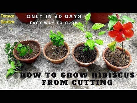 How To Grow Hibiscus From Cuttings X2f X2f ग ड हल क कट ग क स लग ए Hindi X2f Urdu Youtube Hibiscus Tree Hibiscus Plant Hibiscus