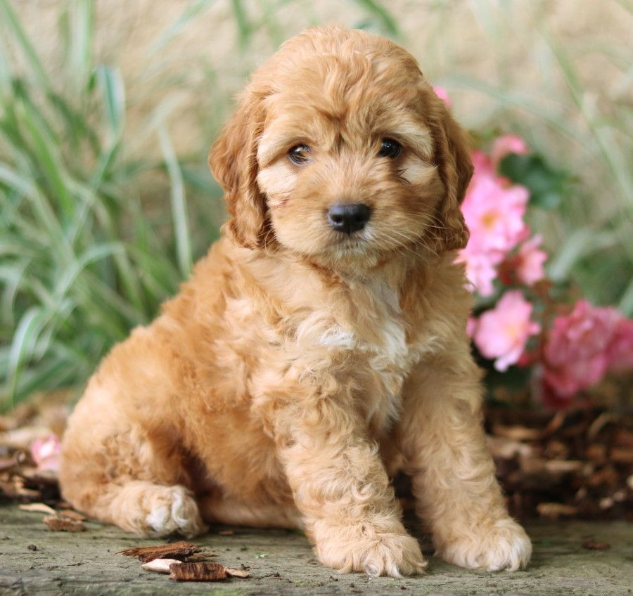 Puppies For Sale Cockapoo Puppies Cockapoo Breeders Puppies