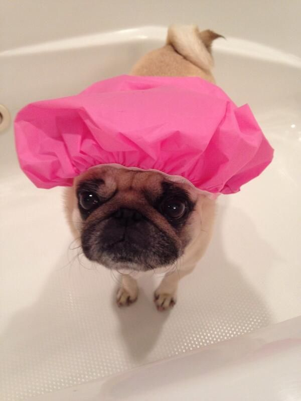 50 Cutest Puppies You Need To Look At Now Cute Pugs Cute