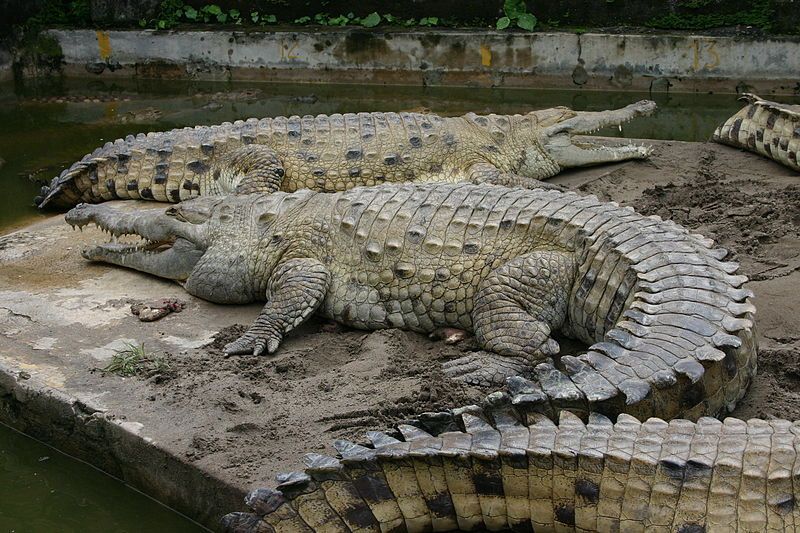 Largest Crocodile Ever Recorded Extinct Extant Worlds - Meet worlds largest crocodile caught philippines