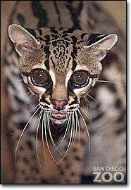 Oncilla Almost Extinct Extinct And Endangered Animals Wild Cats Animals Wild