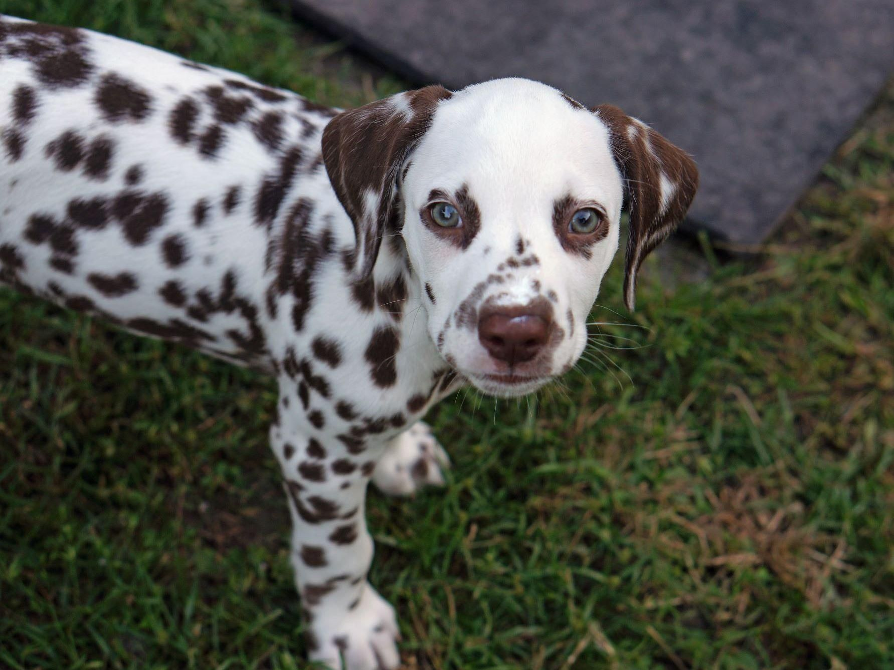Obx Dalmatians Has Puppies For Sale On Akc Puppyfinder Dalmatian Puppies For Sale Dalmatian Puppy Big Dog Breeds