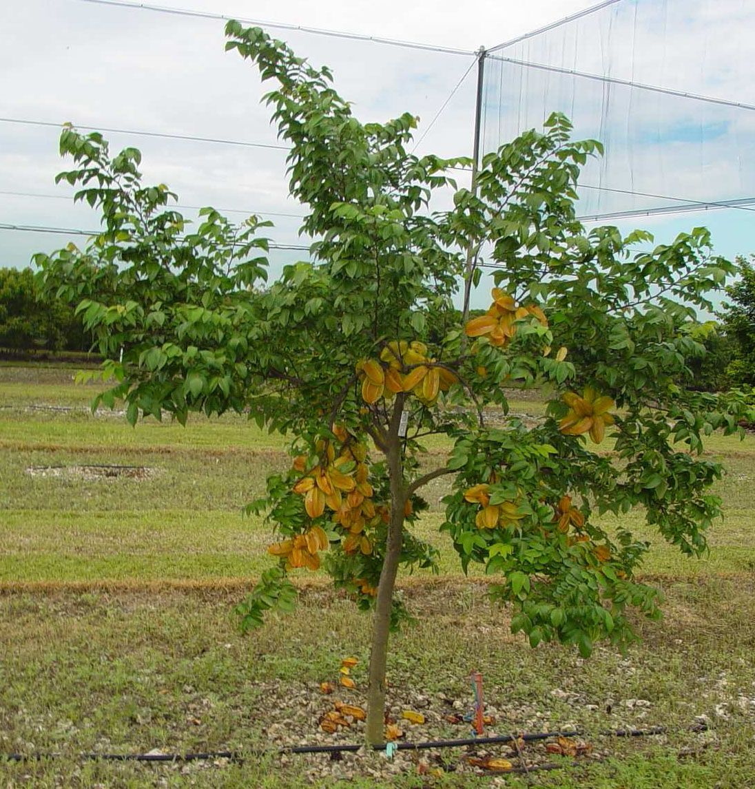 Carambola star fruit tropical fruit trees for the back for Fruit trees