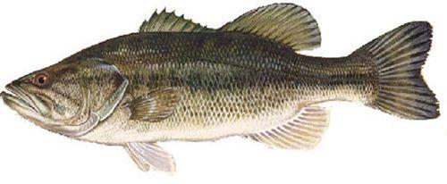 images of bass fish   ... micropterus salmoides other names black bass florida bass green bass