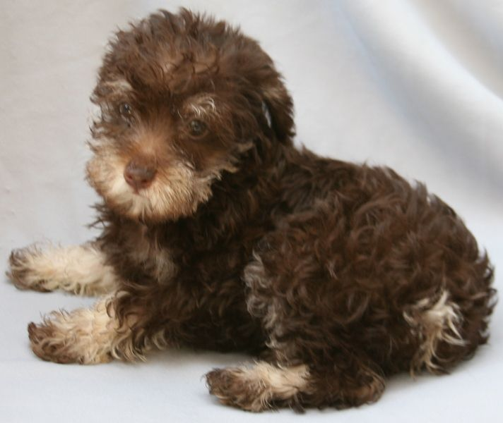 Schnoodle Puppies Example Of Black Schnoodle Puppy Example Of