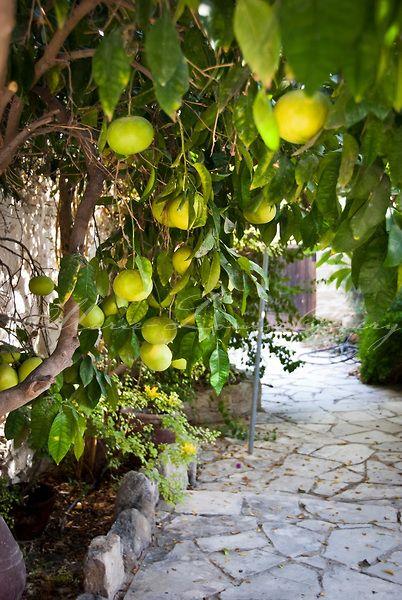 Grapefruit in Cyprus courtyard