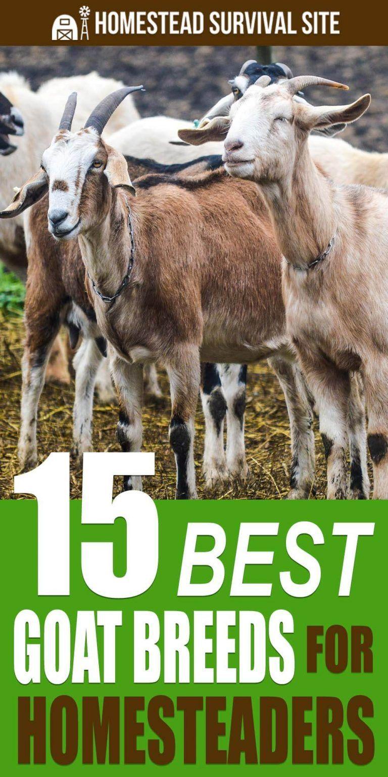 15 Best Goat Breeds for Homesteaders Goats, Breeds, Goat