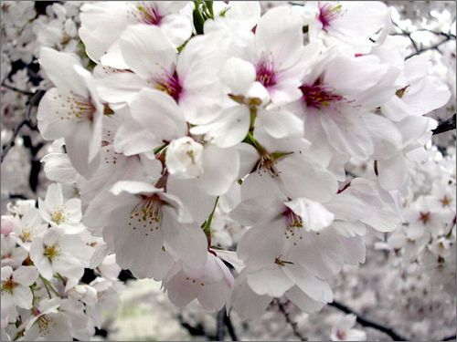 She Who Eats In Praise Of Cherry Blossoms Sakura Cherry Blossom Blossom Cherry Blossom