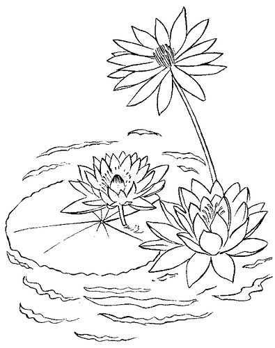 Water Lilly Lilies Drawing Coloring Pages Printable Coloring Pages