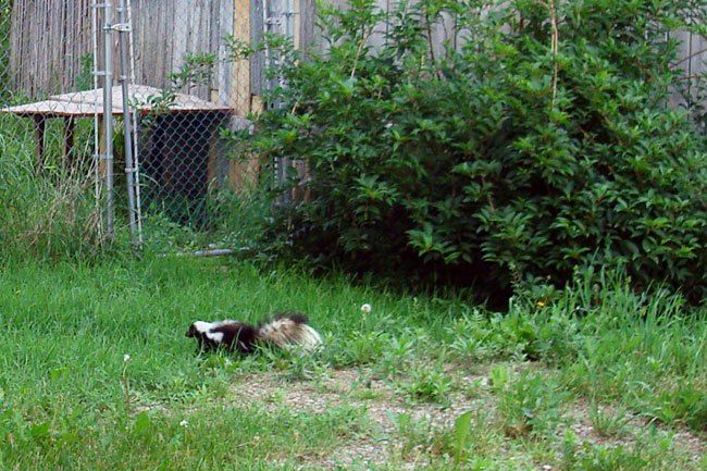 What to Do if Your Dog is Sprayed by a Skunk   Dog spray ...