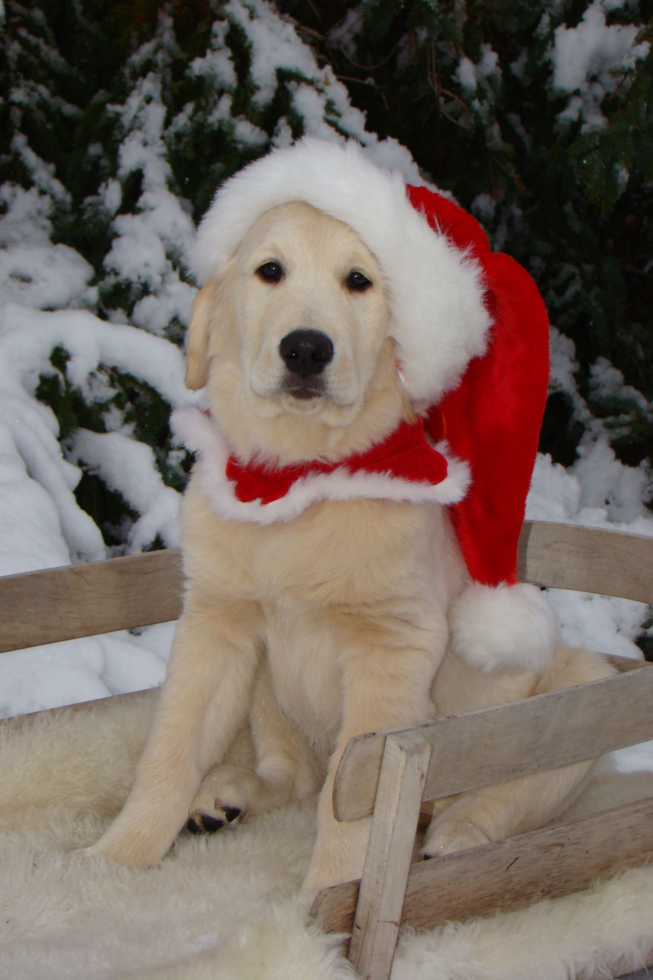 First snow and christmas for bentley pet holiday