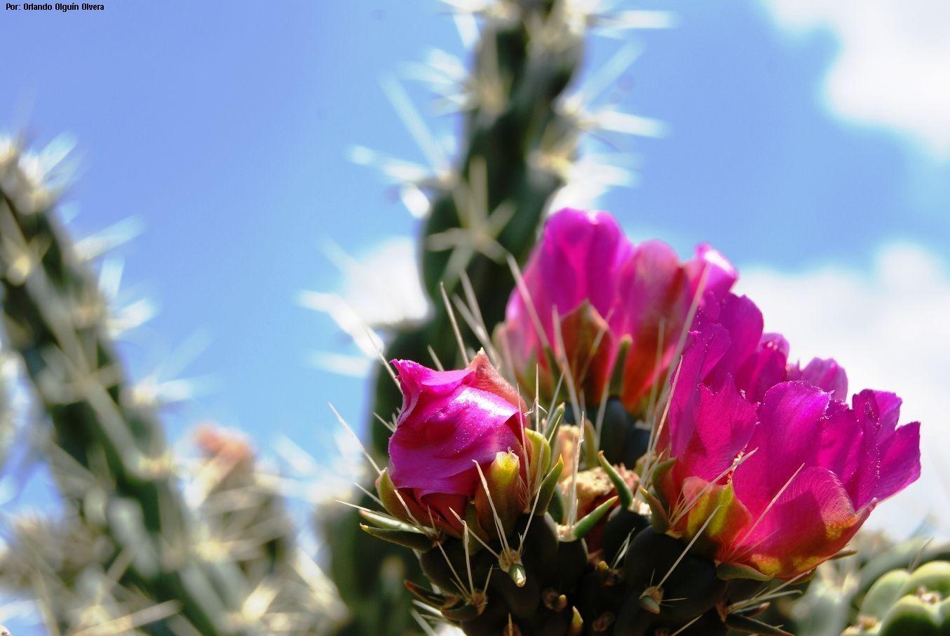 flores cactáceas - Buscar con Google