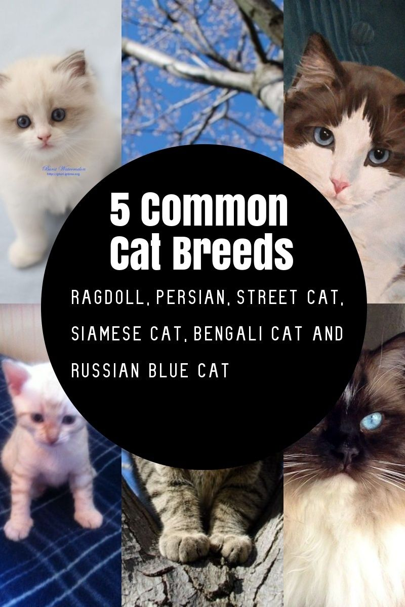 The Most Common Cat Breeds Common Cat Breeds Cat Breeds Cats