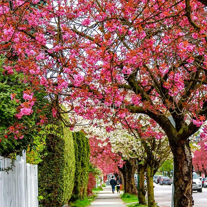 Walking Under The Cherry Blossom Trees Clock By Bmaryna Cherry Blossom Tree Blossom Trees Cherry Blossom