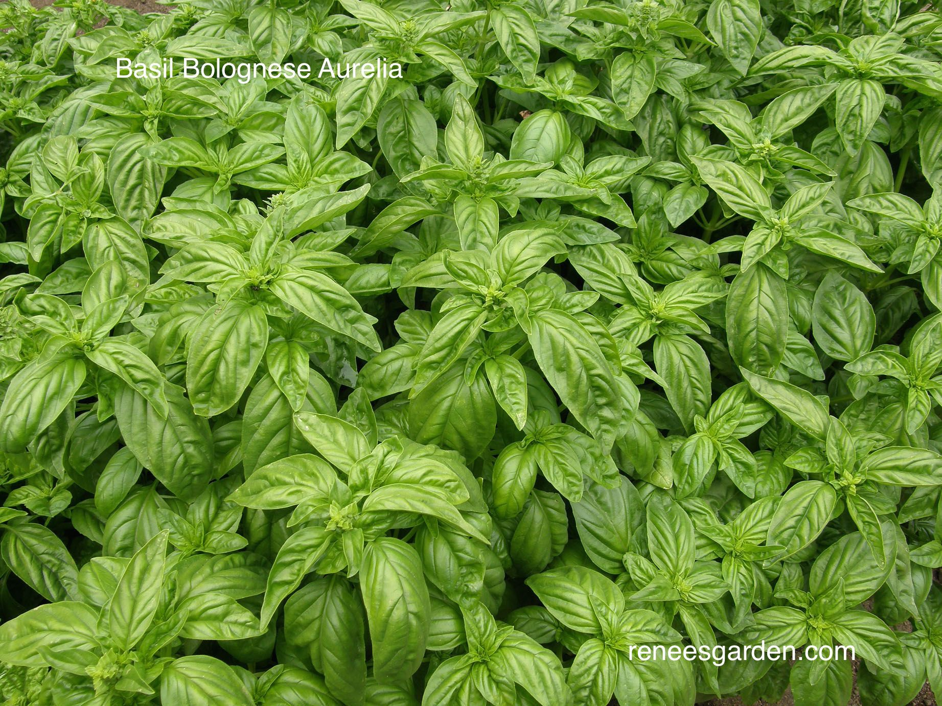 a renee s garden exclusive a specialty basil from the region