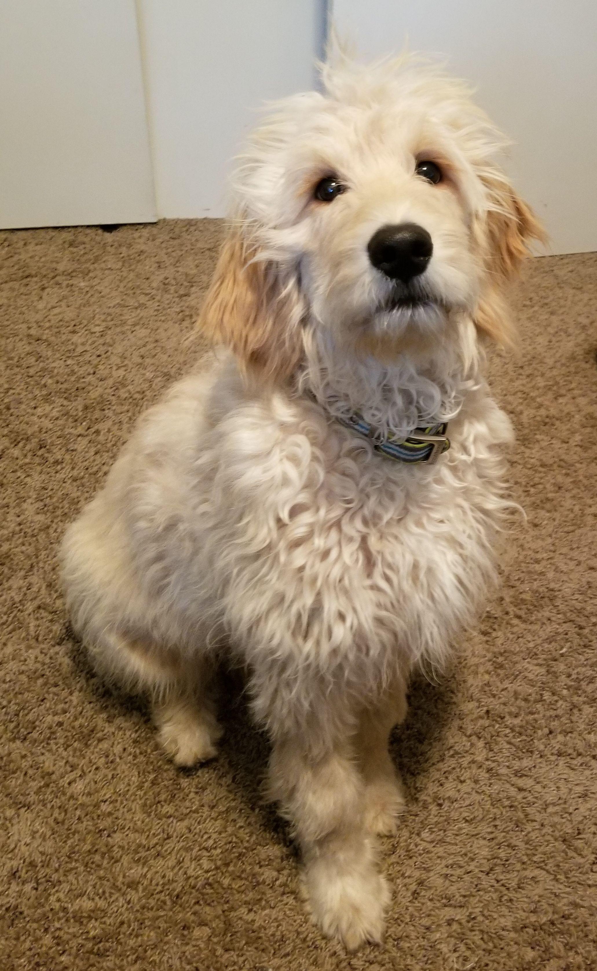 Golden Retriever Dog For Adoption In St Paul Mn Adn 540200 On