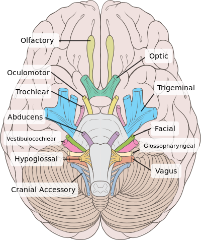 Cranial Nerves Nerve Anatomy Cranial Nerves Anatomy Anatomy And Physiology