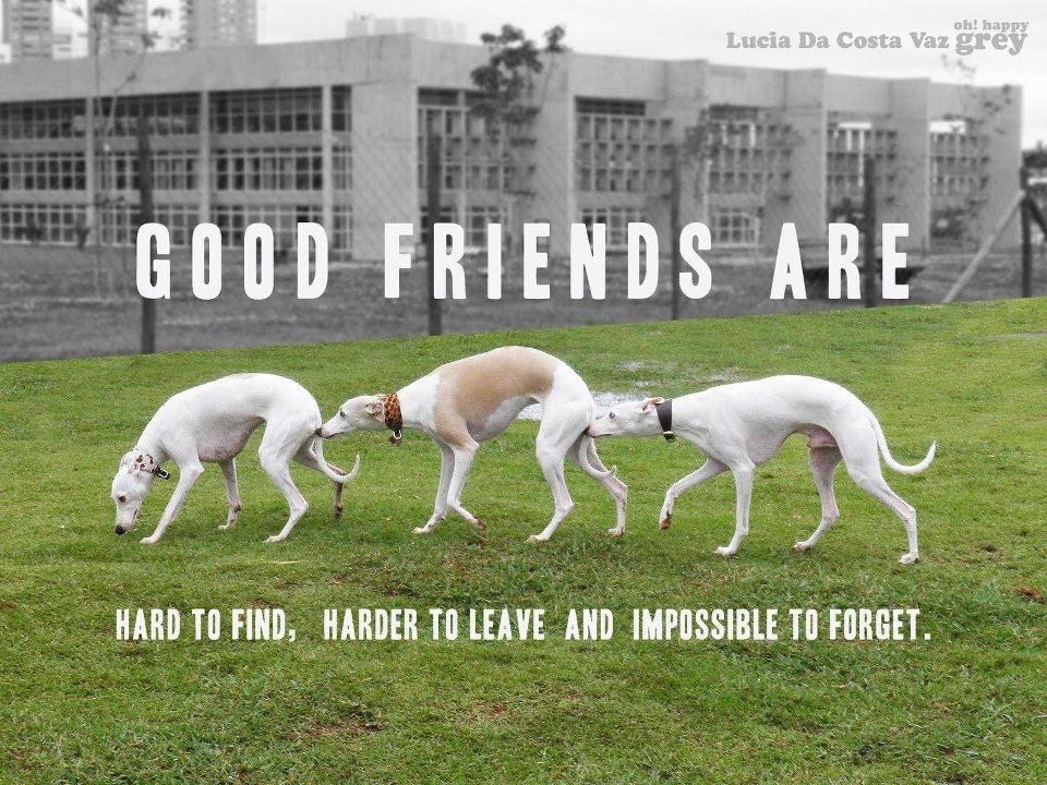 Www Facebook Com Happygrey Grey Hound Dog Greyhounds Funny