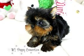 Micro Teacup Yorkie Puppies For Ms