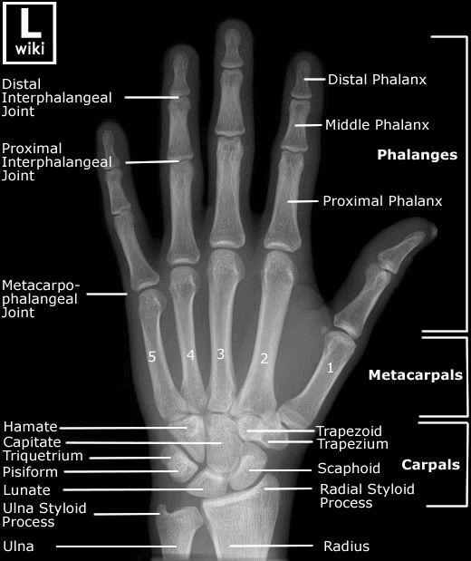 Anatomia Mano Anatomia E Fisiologia Humana Pinterest Anatomy