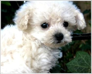 White Teacup Poodle Just Like My Tucker Teacup Puppies Cute