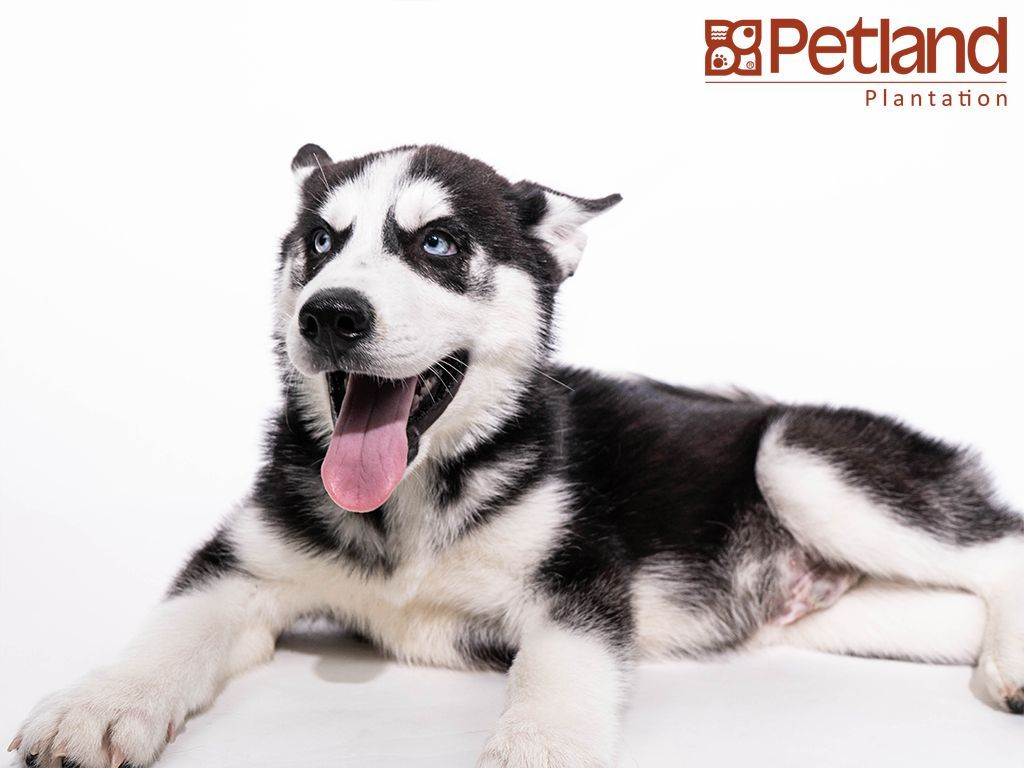 Petland Florida Has Siberian Husky Puppies For Sale Check Out All Our Available Puppies Siberia Siberian Husky Puppies Husky Puppies For Sale Puppy Friends