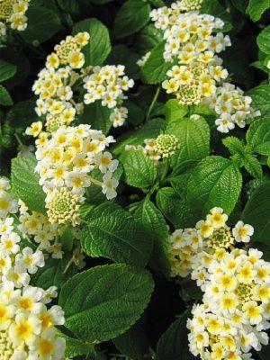 Lantana Dennholm White Lantana Flower Garden Seed Pods