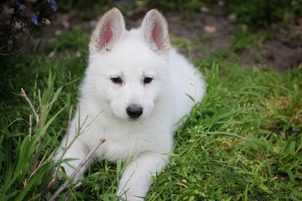 Meira, our White German Shepherd puppy White german