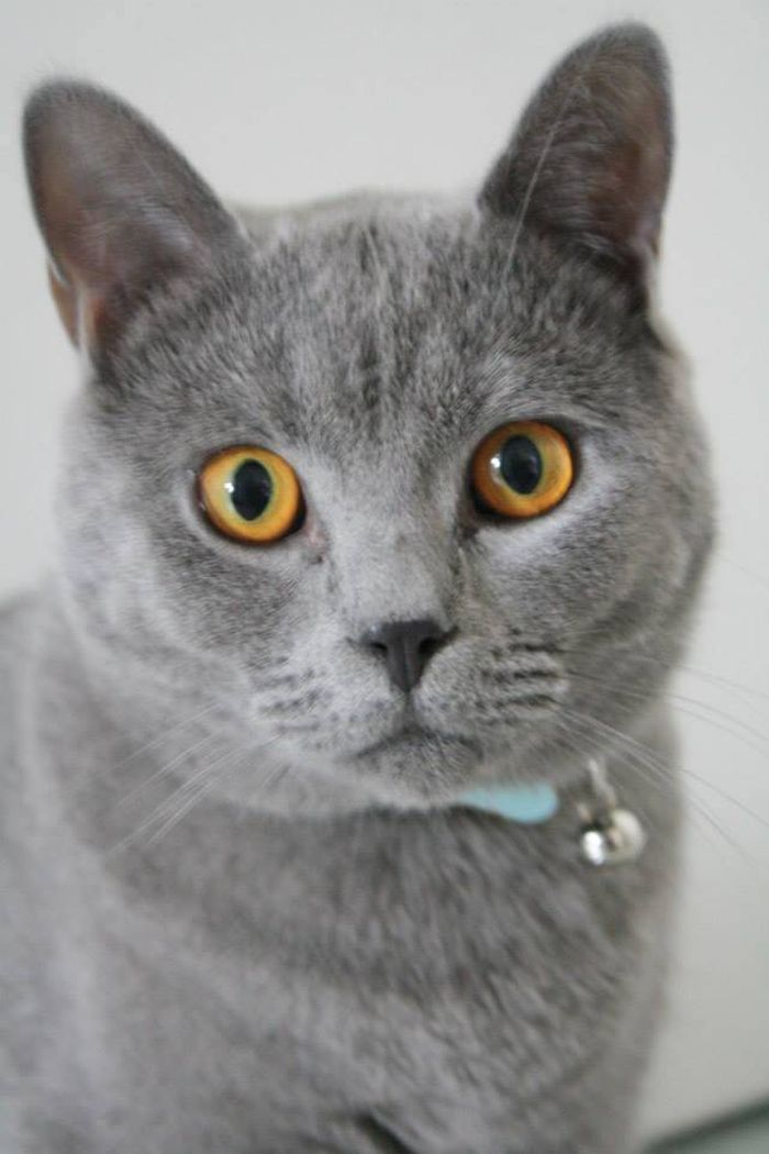 Chartreux chartreuse blue