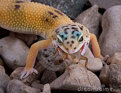 Leopard Gecko Eating Cricket Leopard Gecko Diet Leopard Gecko Gecko