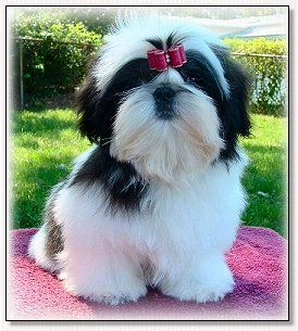 Shih Tzu Puppy L Champion Wenrick S Master Of The Universe Cosmo With Images Shih Tzu Dogs Baby Shih Tzu